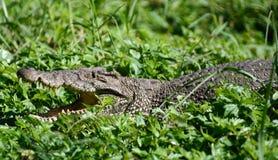 Krokodilbauernhof Cienaga de Zapata Stockfoto