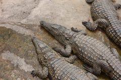 Krokodilbauernhof in Marokko Stockfotos