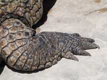 krokodilben royaltyfri fotografi
