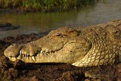 Krokodilcloseup Arkivbilder
