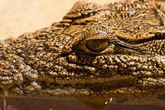 Krokodilcloseup royaltyfri bild