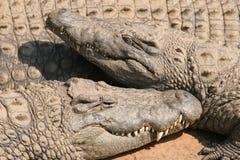 Krokodile Lizenzfreie Stockbilder