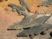 krokodile Lizenzfreies Stockfoto