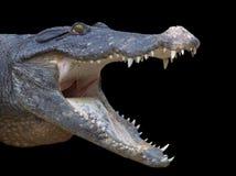 Krokodile royalty free stock photo