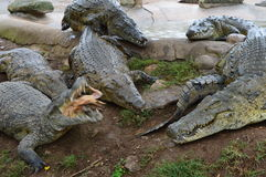 krokodile lizenzfreie stockfotos