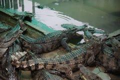 krokodile Stockfotografie