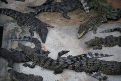 krokodile Lizenzfreie Stockfotografie