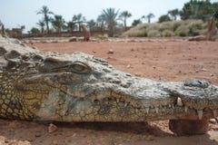 Krokodile, Alligatoren in Marokko Krokodilbauernhof in Agadir Lizenzfreies Stockfoto