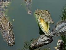 Krokodile auf einem Fluss Stockfotos