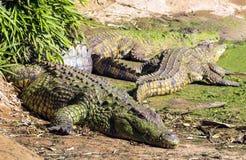 Krokodile beschichtet mit aalenden Grünalgen den Sun Stockbilder