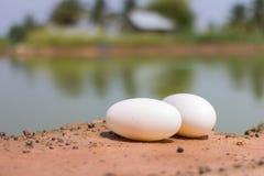 Krokodile brüten von den Eiern aus Lizenzfreie Stockfotos