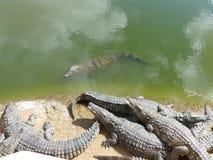 Krokodile des Nils stockfoto