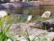 Krokodile des Nils stockbilder