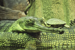 Krokodile mit Schildkröte im ZOO, Tschechische Republik lizenzfreie stockbilder