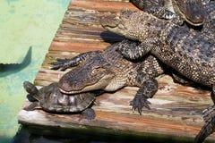 Krokodile und Schildkröte Stockfotos