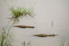 Krokodile verstecken sich in einem Teich Stockfotos