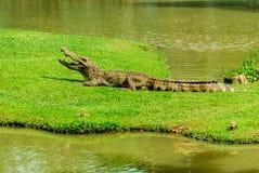 Krokodilen Fotografering för Bildbyråer