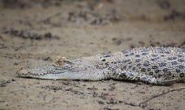 Krokodilen behandla som ett barn Arkivfoton