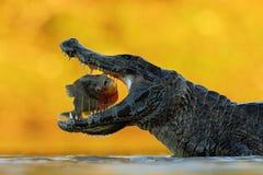Krokodilen med öppet tystar ned Yacare kajman, krokodil med fisken in med aftonsolen, Pantanal, Brasilien Djurlivplats från natur Arkivfoto