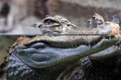 Krokodilen med huvudet över - bevattna Royaltyfria Foton