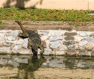 Krokodilen nära floden i bangkok, Thailand Royaltyfri Foto