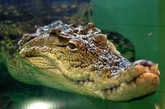 krokodilen ser ut vatten Arkivfoto