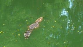 Krokodilen simmar i det gröna sumpiga vattnet Muddy Swampy River thailand askfat arkivfilmer