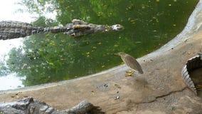 Krokodilen simmar i det gröna sumpiga vattnet Muddy Swampy River thailand askfat lager videofilmer
