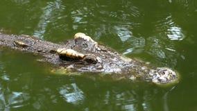 Krokodilen simmar i det gröna sumpiga vattnet Muddy Swampy River thailand askfat stock video