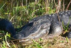 Krokodilen solbadar i ängen Arkivfoton