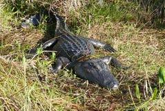 Krokodilen solbadar i ängen Royaltyfri Bild