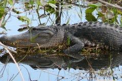 Krokodilen solbadar i vattnet Arkivbild