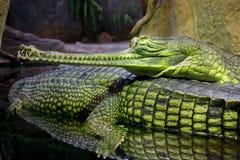 krokodiler Arkivfoton