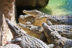 krokodiler Arkivbilder