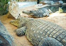 krokodiler arkivbild