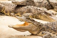 Krokodiler Fotografering för Bildbyråer