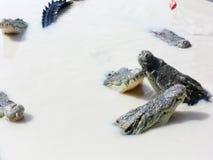 krokodiler Royaltyfri Fotografi