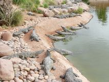 Krokodiler av nilen Arkivfoton