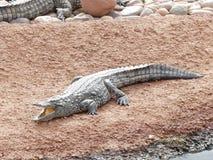 Krokodiler av nilen arkivfoto