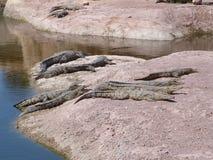 Krokodiler av nilen royaltyfri bild