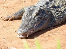 Krokodiler av nilen Royaltyfri Fotografi