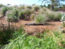 Krokodiler av nilen Arkivbild
