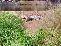 Krokodiler av nilen Royaltyfria Foton