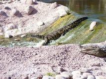 Krokodiler av nilen royaltyfria bilder