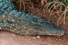Krokodiler i crocopark Arkivfoton