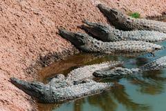Krokodiler i crocopark Royaltyfria Foton