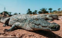 Krokodiler i crocopark Fotografering för Bildbyråer