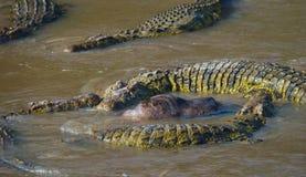 Krokodiler i floden Mara kenya Maasai Mara _ Arkivfoto