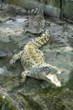 Krokodiler och alligatorer på krokodilen parkerar Royaltyfri Foto