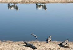 Krokodiler och kor på floden royaltyfri fotografi